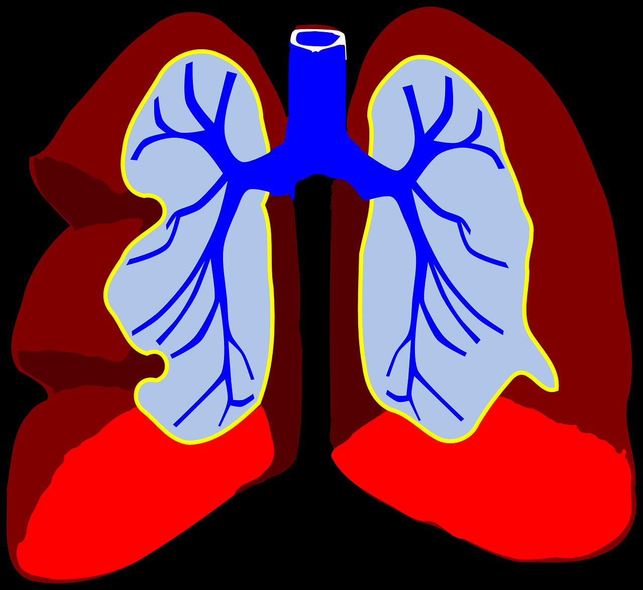 lungs, organ, biology